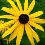 Sonnenhut Pflanze
