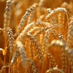 Der Anbau von Weizen